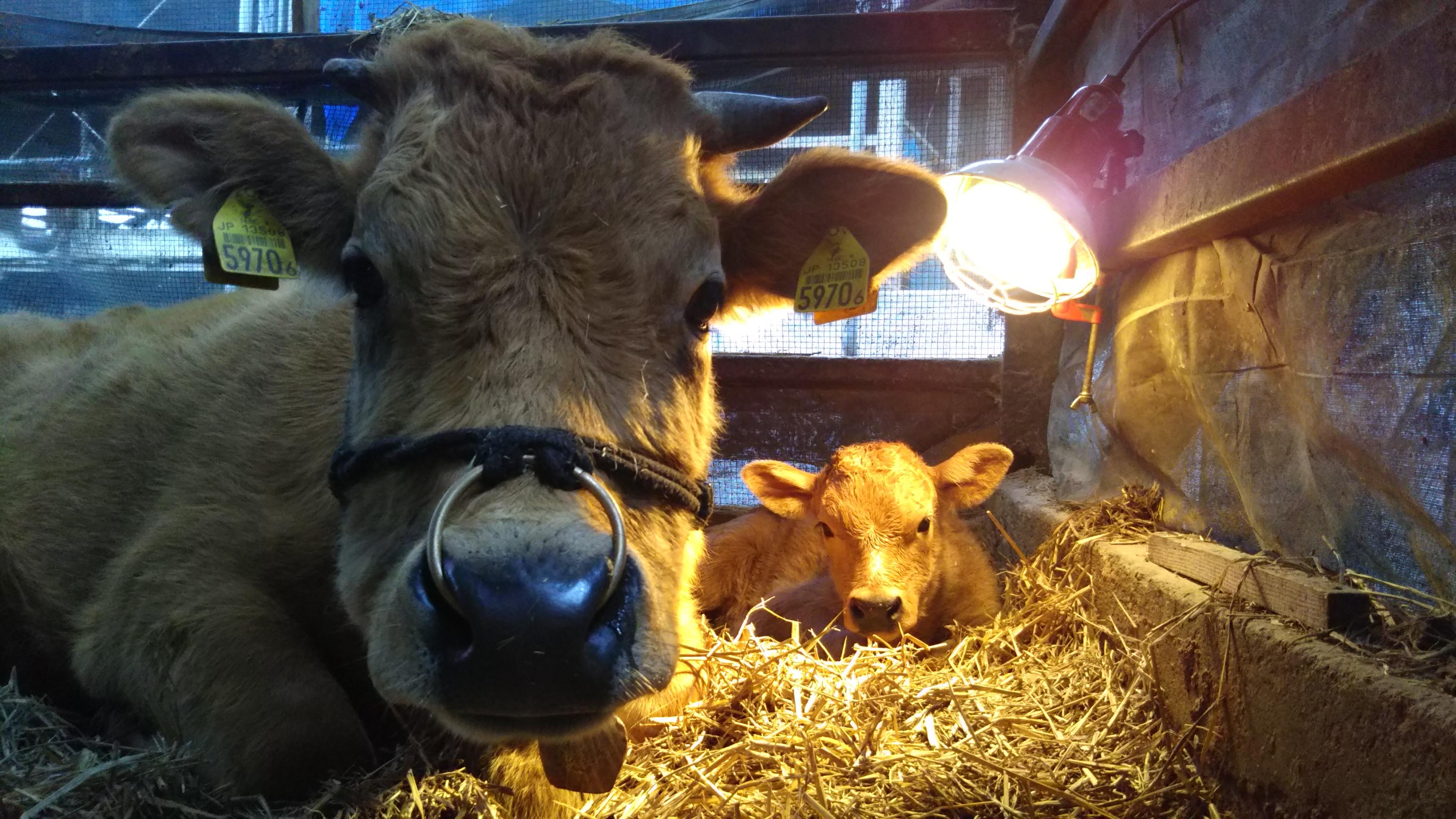 能勢農場では『仔牛の女の子誕生 ♪』